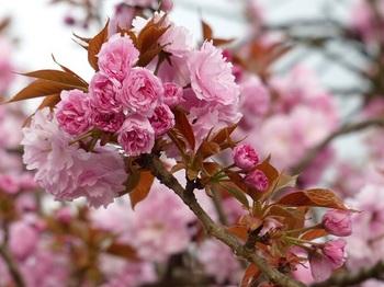 運動公園の里桜3.jpg