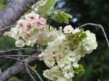 運動公園の里桜5.jpg