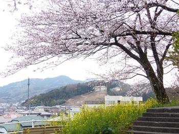 錦着山の桜.jpg