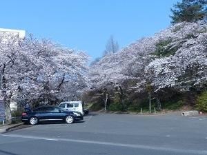 錦着山の桜3.jpg