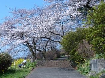 錦着山の桜4.jpg