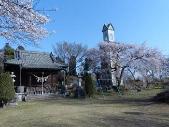錦着山の桜5.jpg