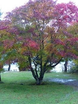 雨の中の紅葉1.jpg