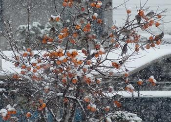 雪の中、柿に群がる雀.jpg