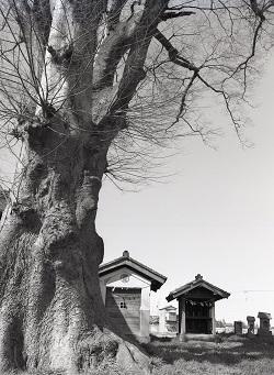 1979年3月稲荷神社 欅1.jpg