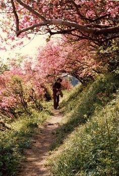 1980年錦着山ツツジのトンネル.jpg