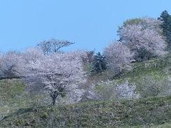 城山の桜.jpg