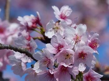 安行寒桜.jpg