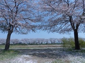 宮の桜2.jpg