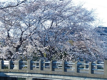 小平橋の桜2.jpg