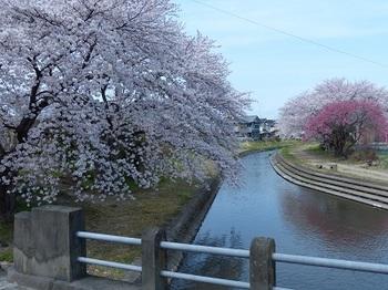 小平橋の桜3.jpg