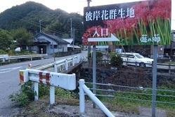 彼岸花群生6.jpg