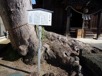 新井天満宮の大欅1.jpg