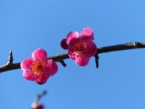新井天満宮の梅花2.jpg