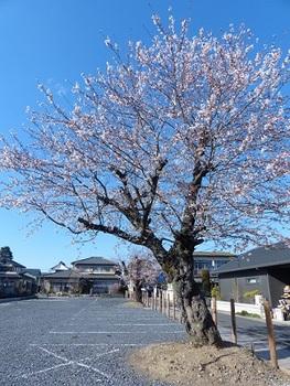 旧いりふね保育園跡の桜.jpg