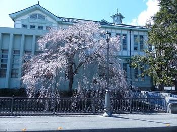 旧栃木市役所別館の桜.jpg