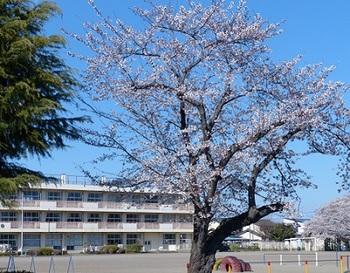 栃四小の桜.jpg