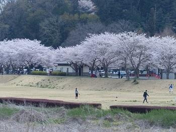 永野川緑地公園の桜.jpg