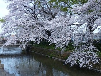 瀬戸ヶ原公園の桜.jpg