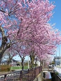 片柳用水と桜1.jpg