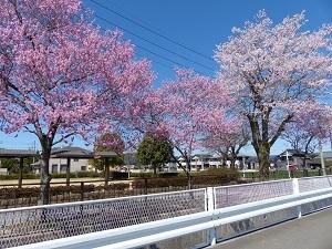 片柳用水と桜2.jpg