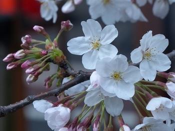 目黒川の桜10.jpg