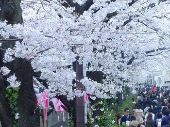 目黒川の桜4.jpg