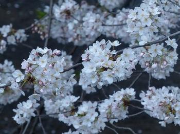目黒川の桜8.jpg