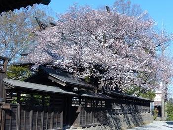 神明宮の桜.jpg
