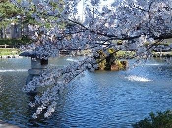 第二公園の桜.jpg