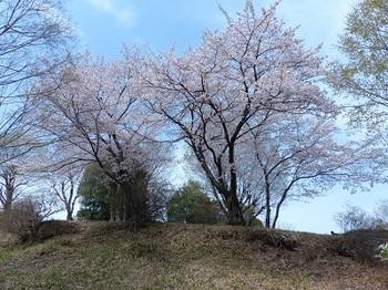 芝塚山の桜.jpg