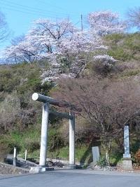 錦着山の桜2.jpg