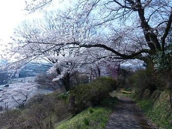 錦着山の桜7.jpg