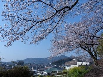 錦着山の桜9.jpg