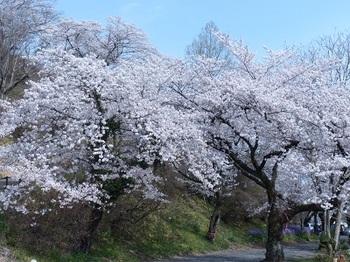 錦着山麓の桜.jpg